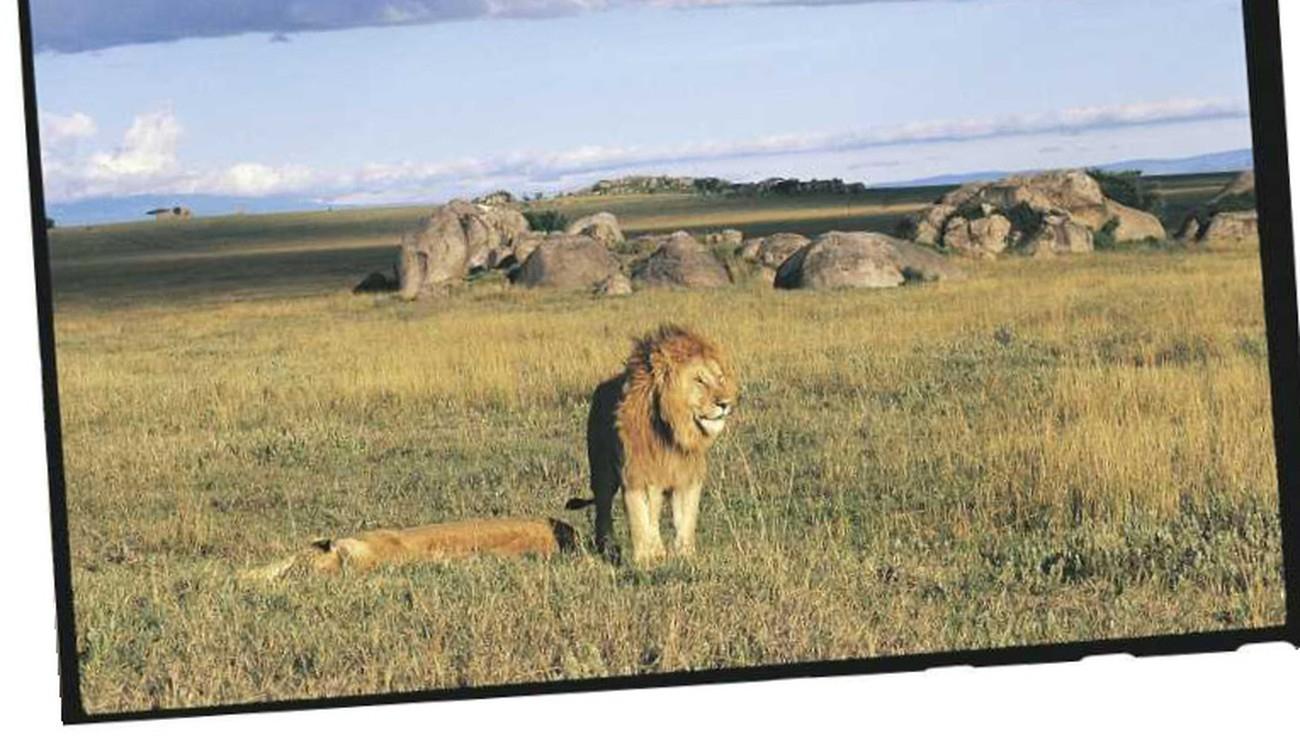 À Quoi Sert La Crinière Du Lion | Pour La Science dedans Photo De Lion A Imprimer En Couleur