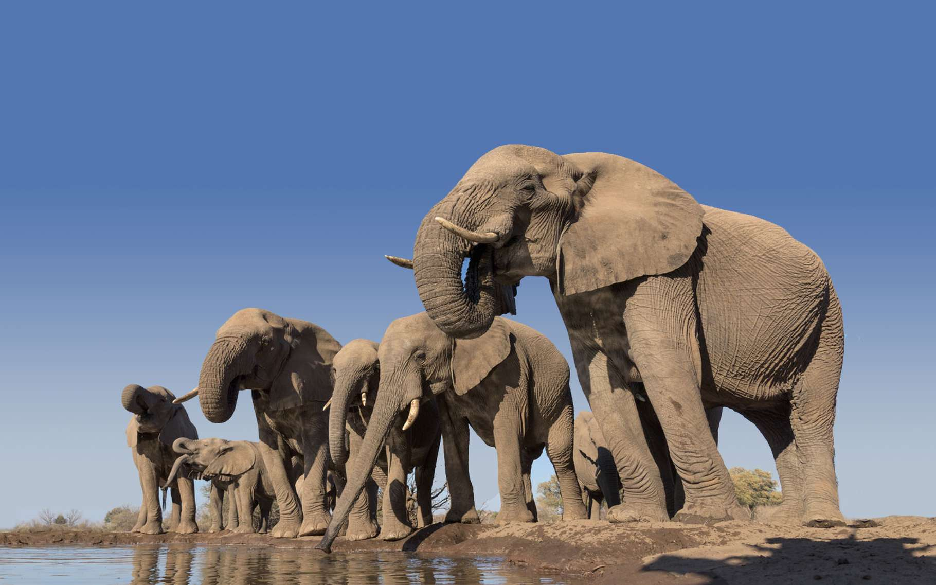 Accouplement Et Reproduction Des Éléphants | Dossier pour Femelle De L Éléphant Nom