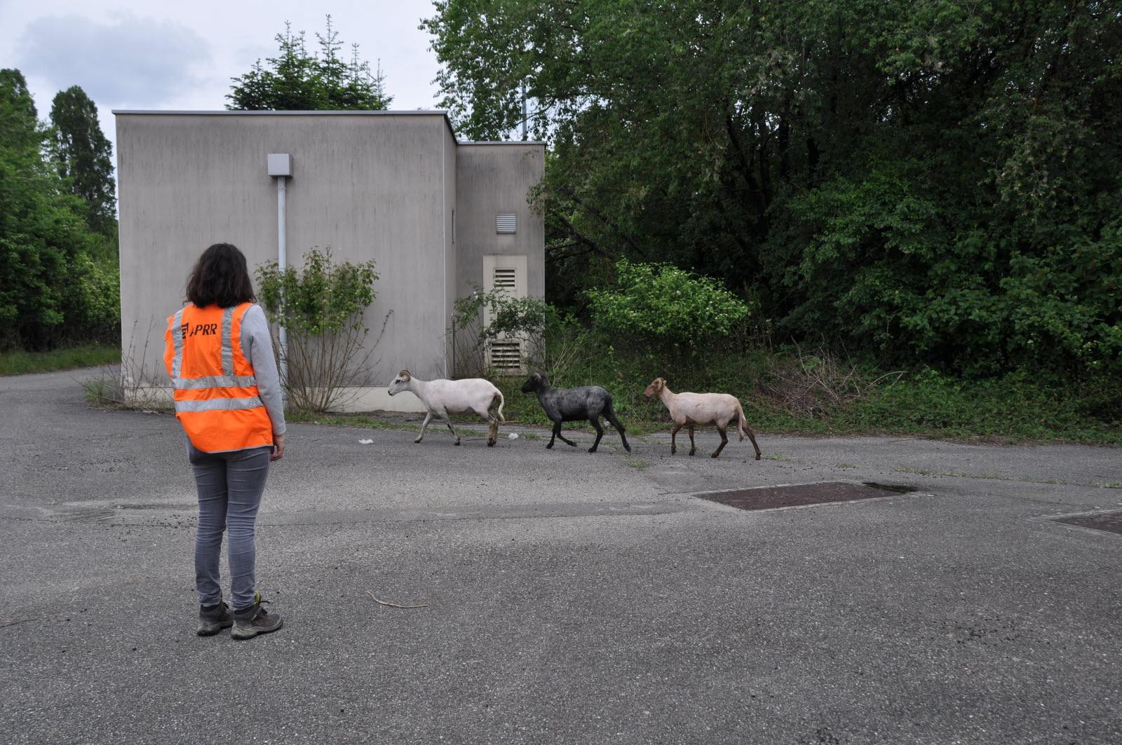Ain   Sur L'a42, Des Moutons Pour Nettoyer Les Bords De L à Différence Entre Brebis Et Mouton