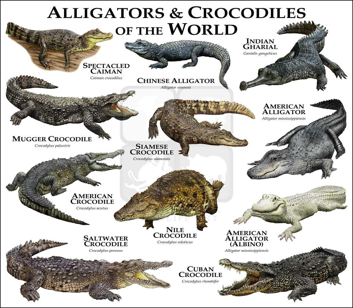Alligators-Crocs Art Fine Art Print | Animaux Sauvages dedans Animaux Ovipares Liste
