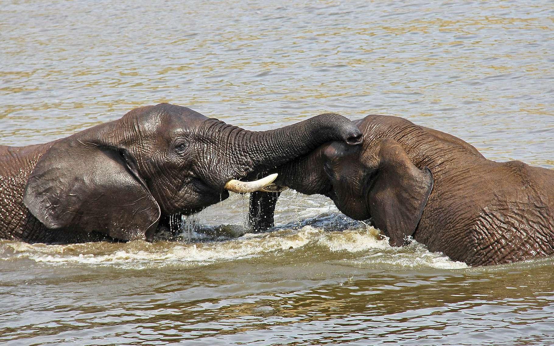 Anatomie De L'éléphant | Dossier avec Femelle De L Éléphant Nom