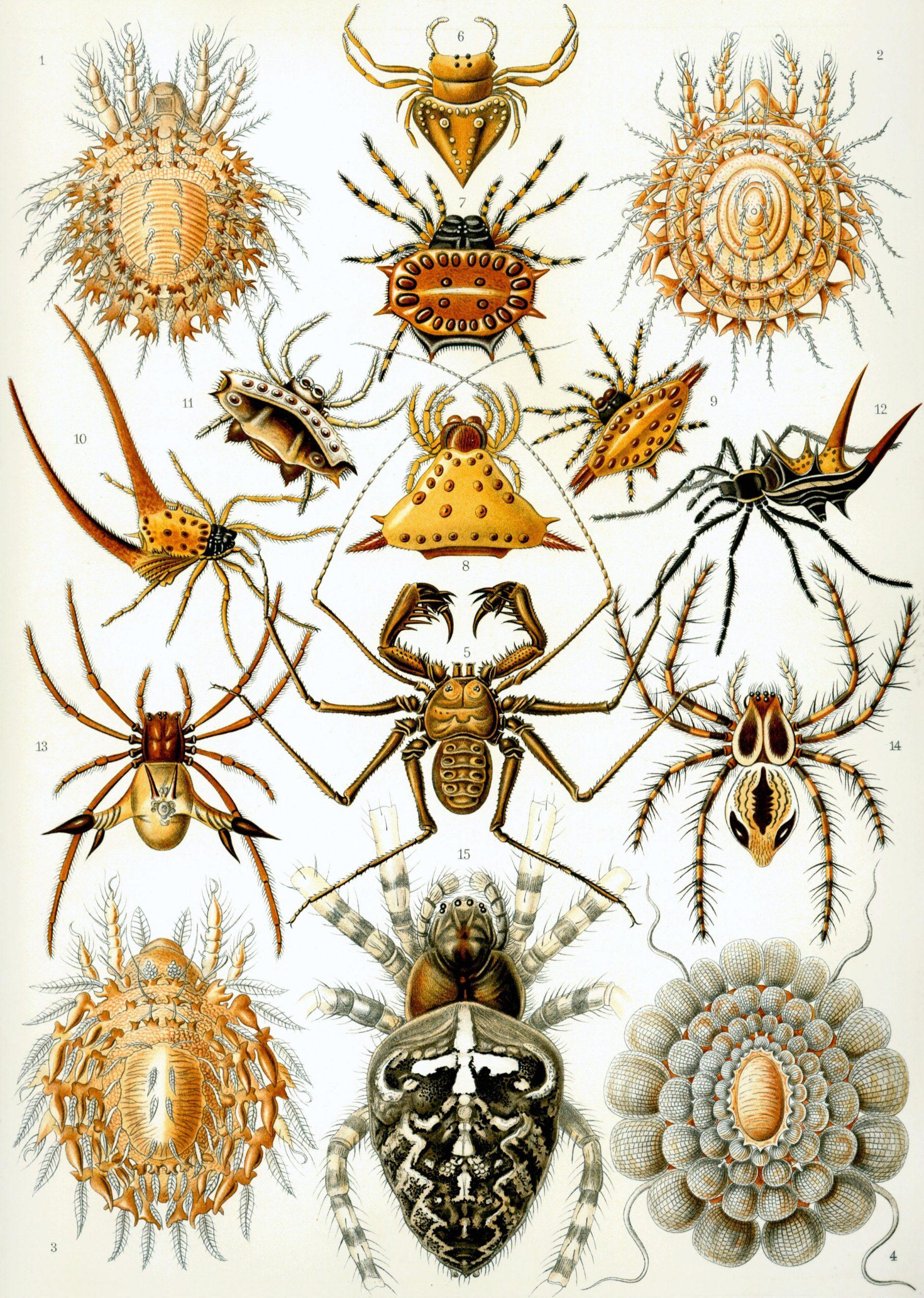 Arachnida — Wikipédia destiné Animaux Ovipares Liste