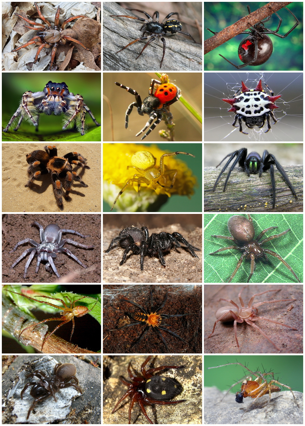 Araneae — Wikipédia tout Animaux Ovipares Liste