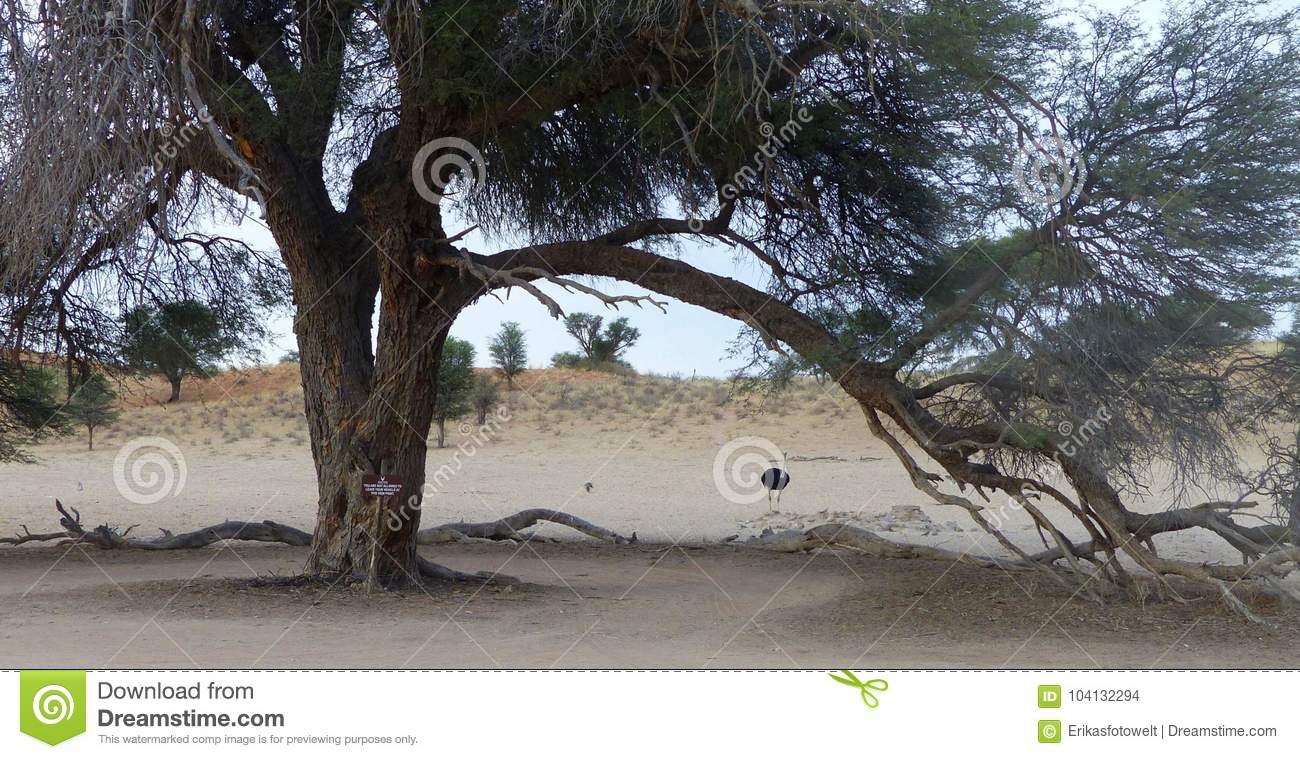 Arbre Géant Avec La Branche De Cintrage Et L'autruche De dedans Male De L Autruche
