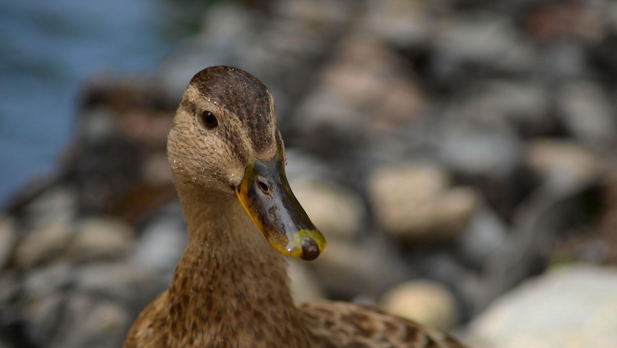 Au Fait, Pourquoi Duckduckgo S'appelle Duckduckgo ? - Tech serapportantà Canard Canne