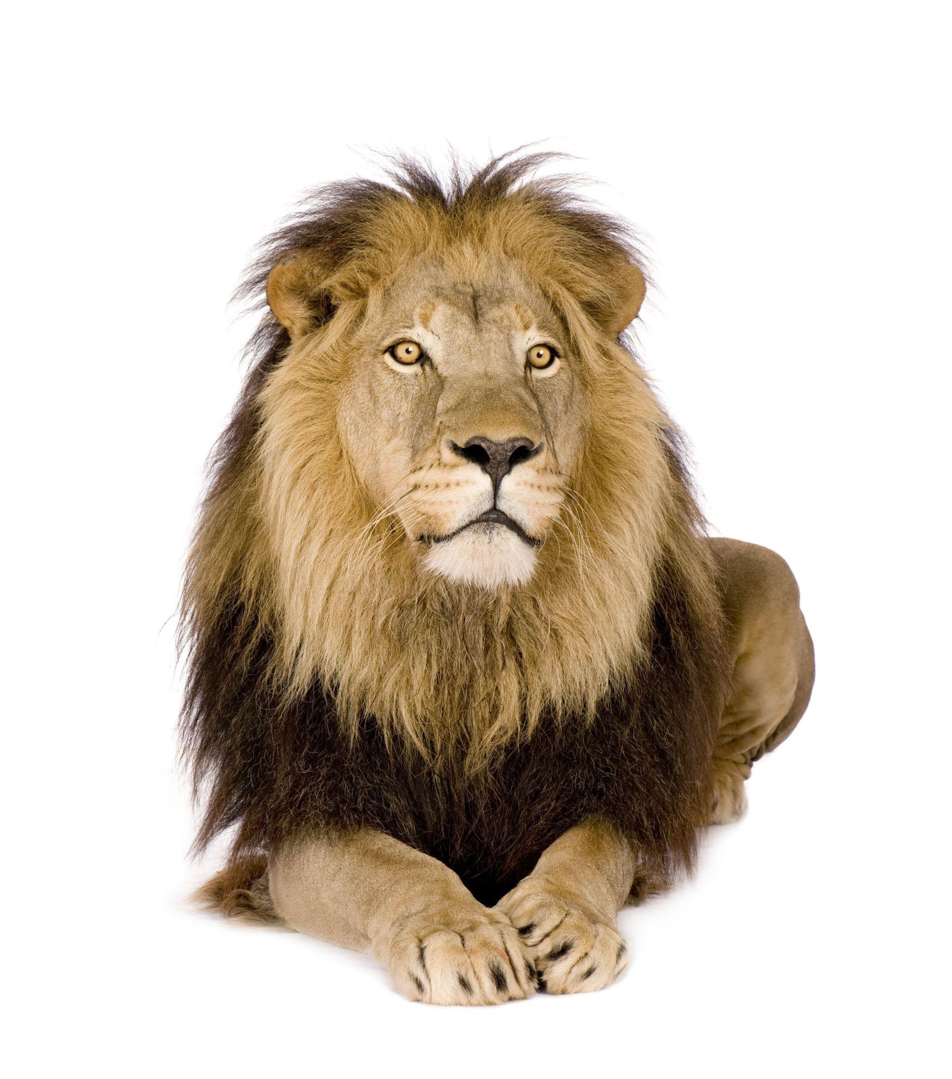 Autocollant Lion De Face destiné Photo De Lion A Imprimer En Couleur