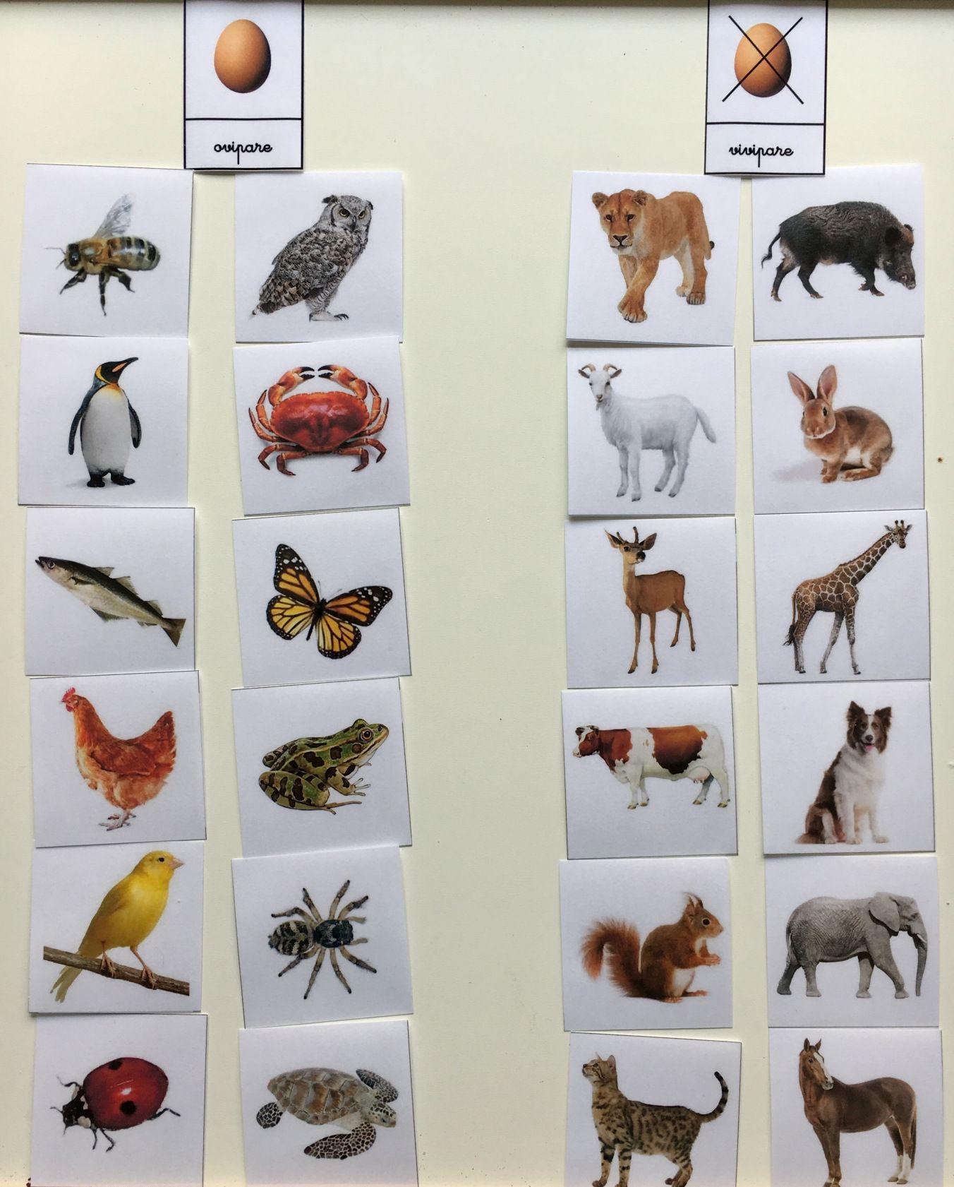 Autour Des Œufs | Animaux Ovipares, Zoo Maternelle Et destiné Animaux Ovipares Liste