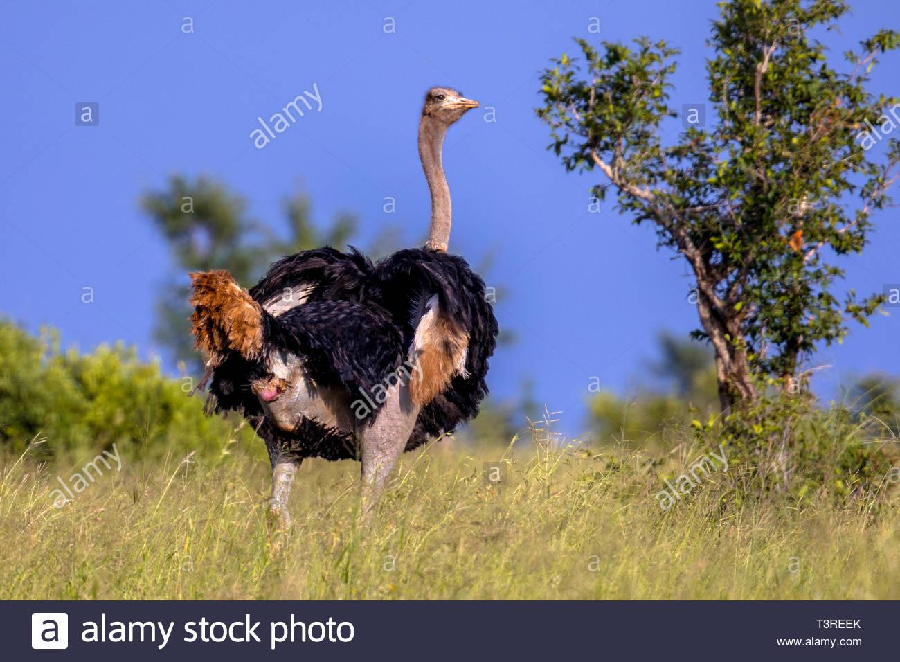 Autruche D'afrique Du Sud (Struthio Camelus Australis) Mâle destiné Male De L Autruche