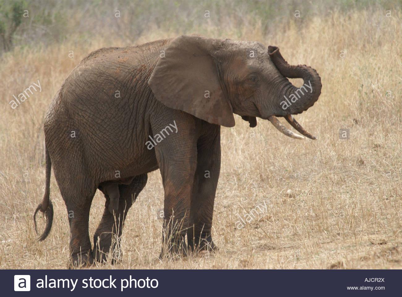 Barrissement De L'éléphant Banque D'images, Photo Stock pour Barrissement Elephant
