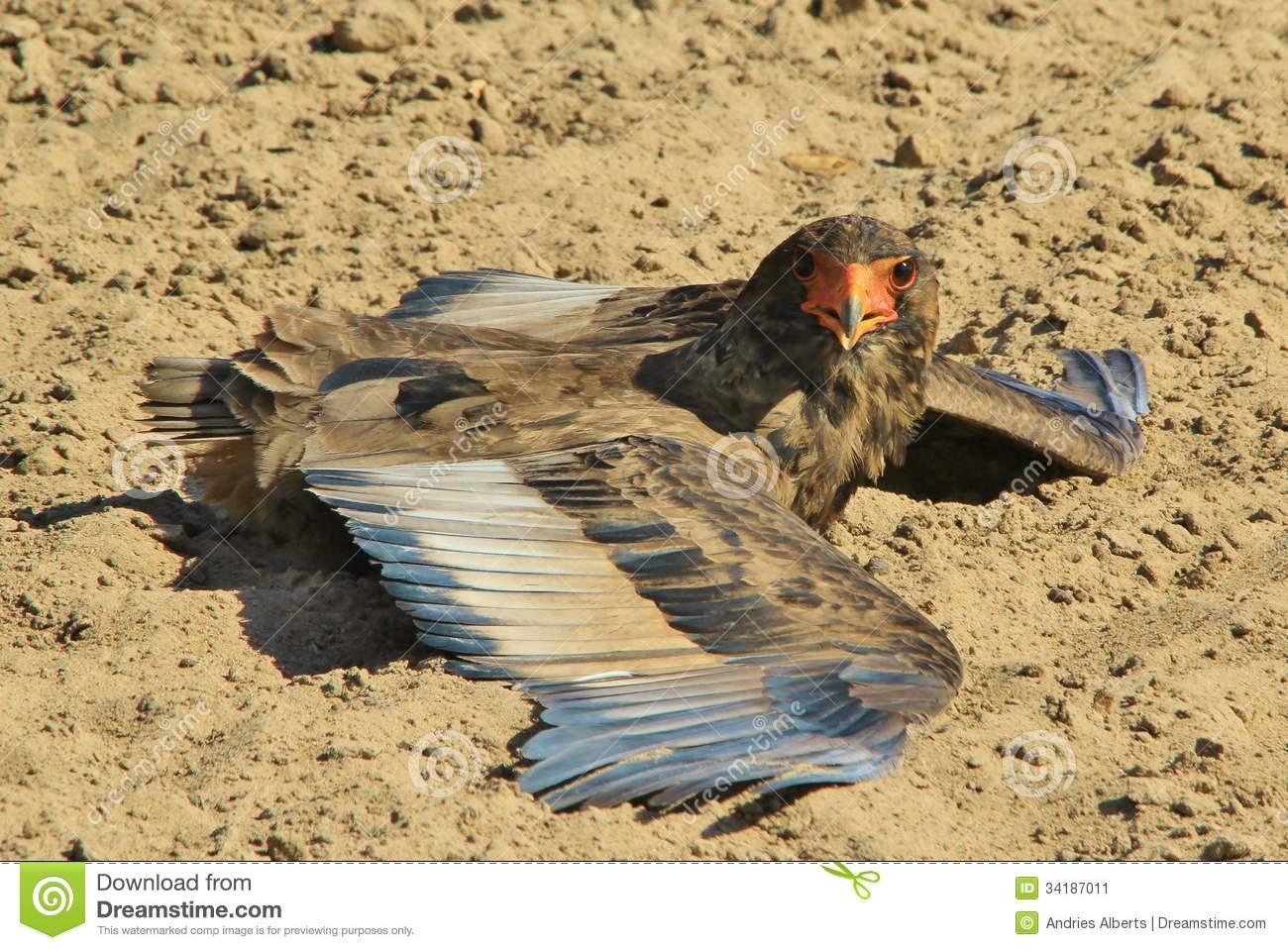 Bateleur Eagle - Fond Sauvage D'oiseau D'afrique - S à Jeux De Oiseau Gratuit