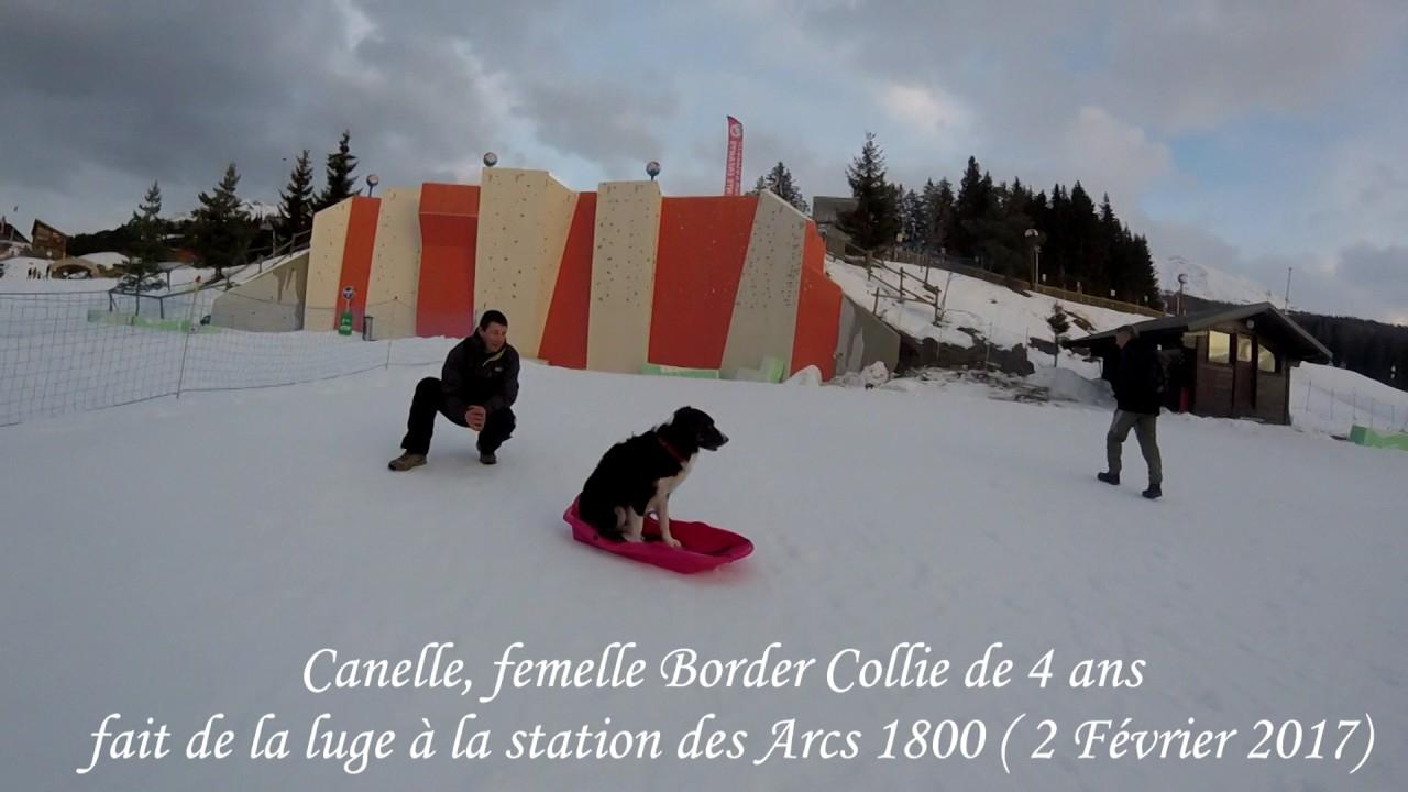 Border Collie Fait De La Luge - Border Collie Sled - dedans Chien Qui Fait De La Luge