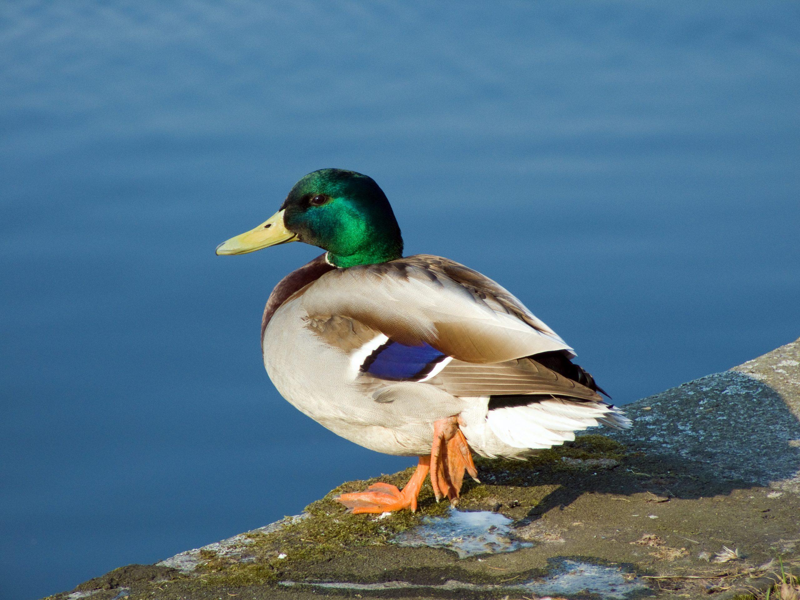 Canard — Wikipédia tout Canard Canne