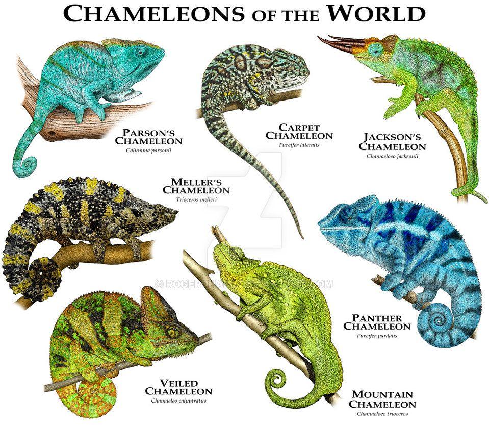 Chameleons Of The World By Rogerdhall On Deviantart destiné Animaux Ovipares Liste