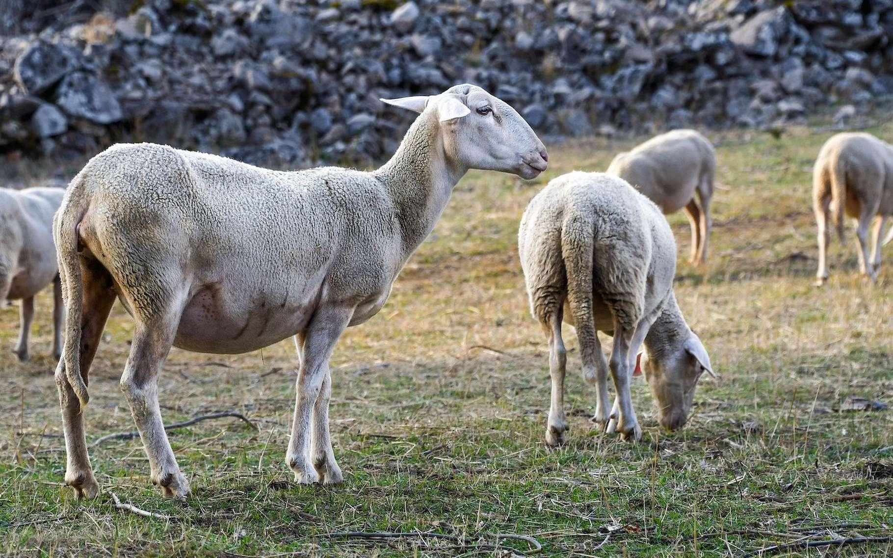 Chèvres, Brebis : Quelles Différences ? concernant Différence Entre Brebis Et Mouton