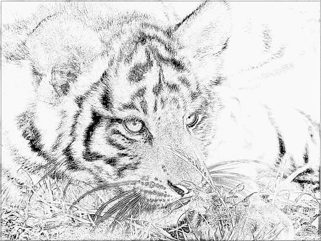 Coloriage Img 0145 E Ulysse Portrait À Imprimer Pour Les à Coloriage Bébé Tigre