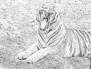 Coloriage Tigre Blanc 594 À Imprimer Pour Les Enfants avec Coloriage Bébé Tigre