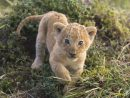 Coloriage Tigreau (Bébé Tigre) À Imprimer Et Colorier destiné Coloriage Bébé Tigre
