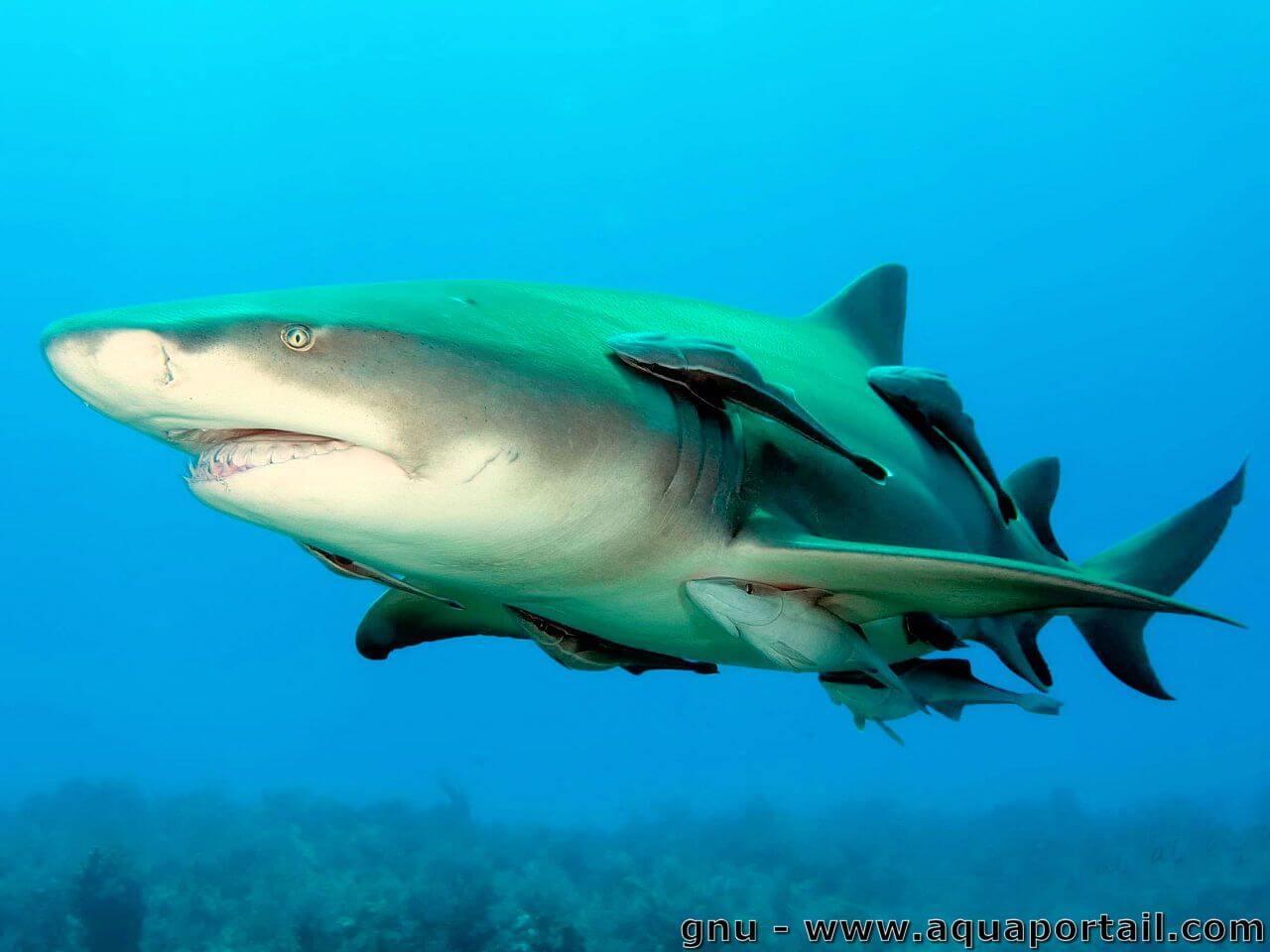 Commensalisme: Définition Et Explications avec Requin Souris