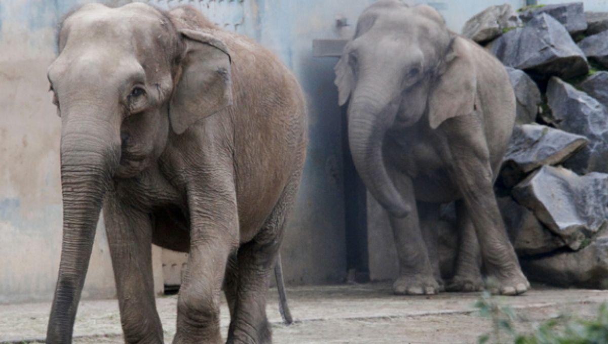 Comment Euthanasier Deux Éléphants | Slate.fr à Barrissement Elephant