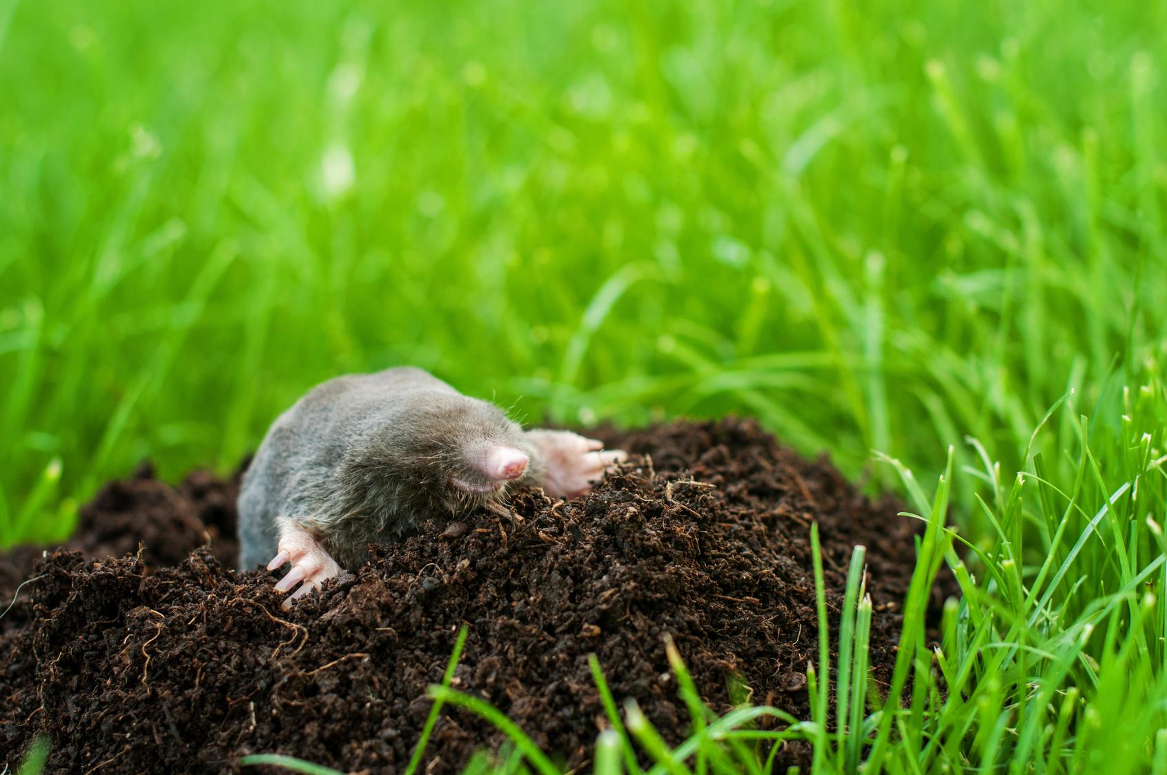 Comment Éviter Les Taupes Dans Son Jardin ? concernant Arbre A Taupe