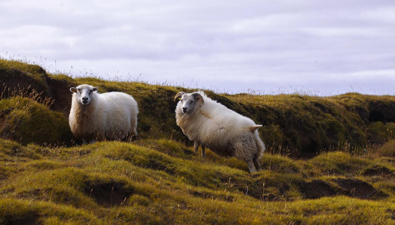Comment Le Mouton À Laine Est Apparu   Pour La Science destiné Différence Entre Brebis Et Mouton