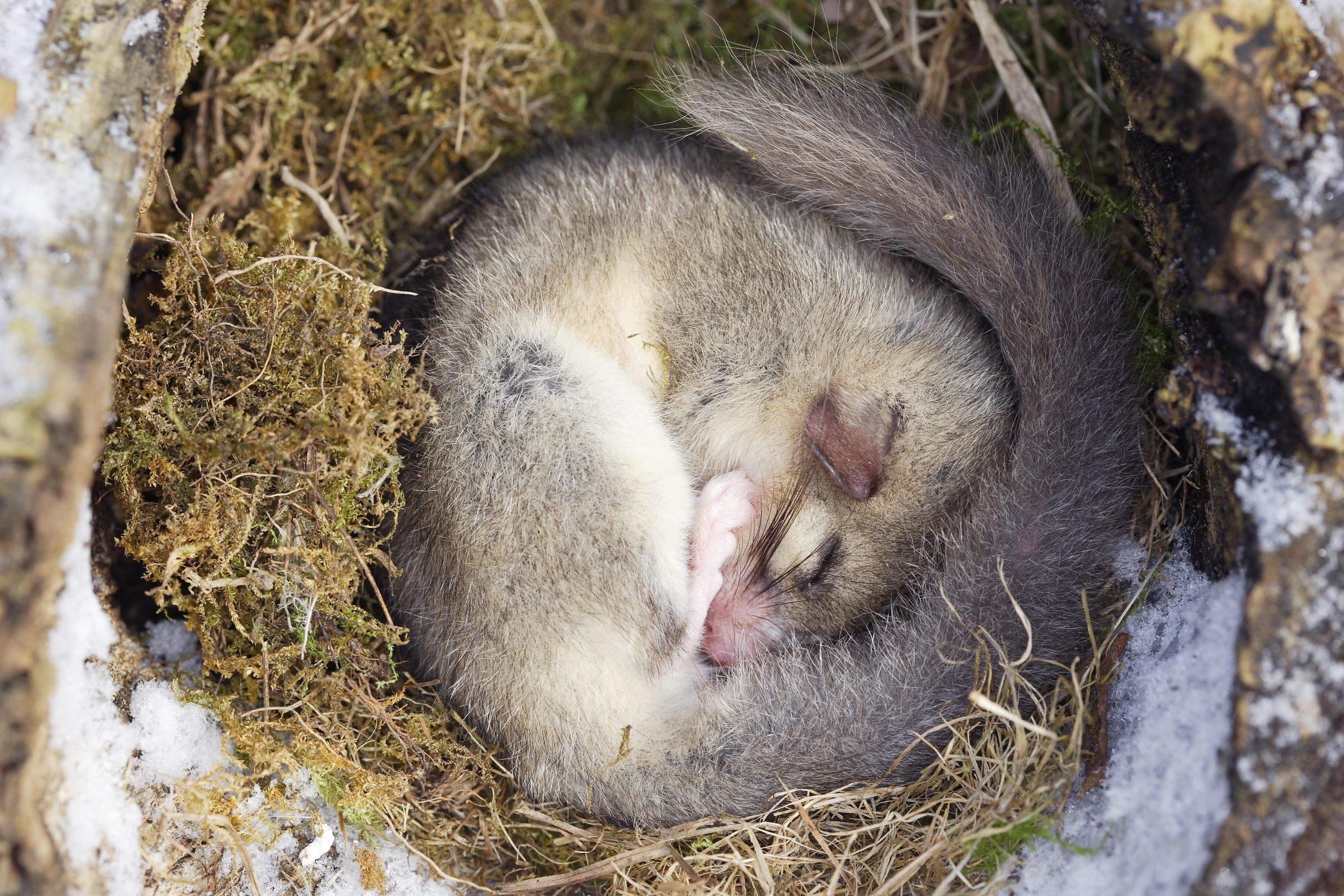 Comment Les Animaux Peuvent-Ils Hiberner Sans Boire ? Gabin pour Animaux Qui Hivernent