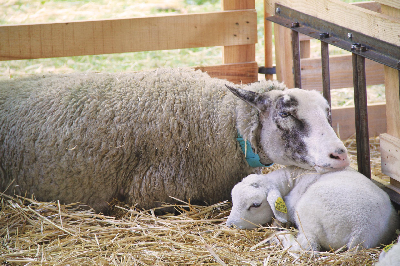 Comprendre Le Fonctionnement Du Lien Maternel Pour Bien avec Différence Entre Brebis Et Mouton