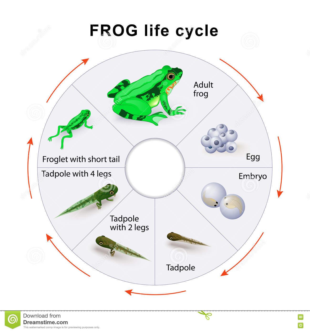 Cycle De Vie De Grenouille Métamorphose Amphibie serapportantà Cycle De Vie Grenouille