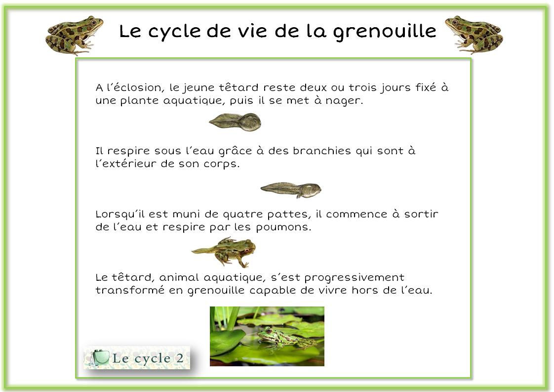 Cycle De Vie De La Grenouille – Du Têtard À La Grenouille dedans Cycle De Vie Grenouille