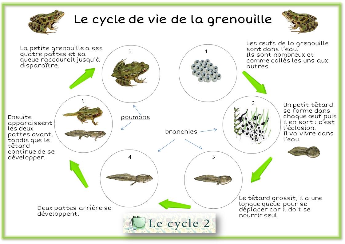 Cycle De Vie De La Grenouille – Du Têtard À La Grenouille dedans Le Cycle De Vie De La Grenouille
