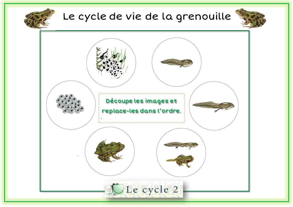 Cycle De Vie De La Grenouille – Du Têtard À La Grenouille tout Cycle De Vie Grenouille