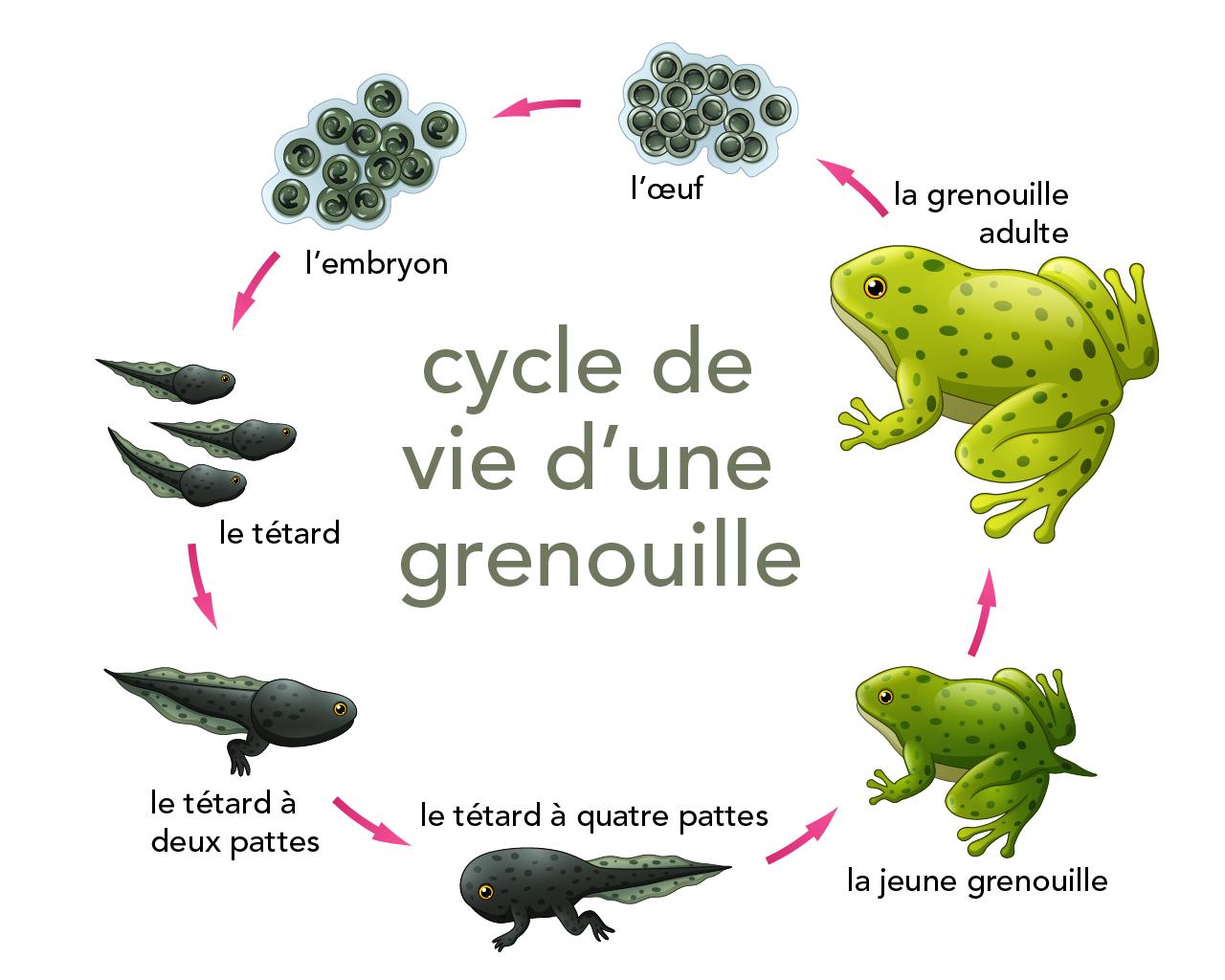 Cycles De Vie Des Animaux | Parlons Sciences encequiconcerne Le Cycle De Vie De La Grenouille