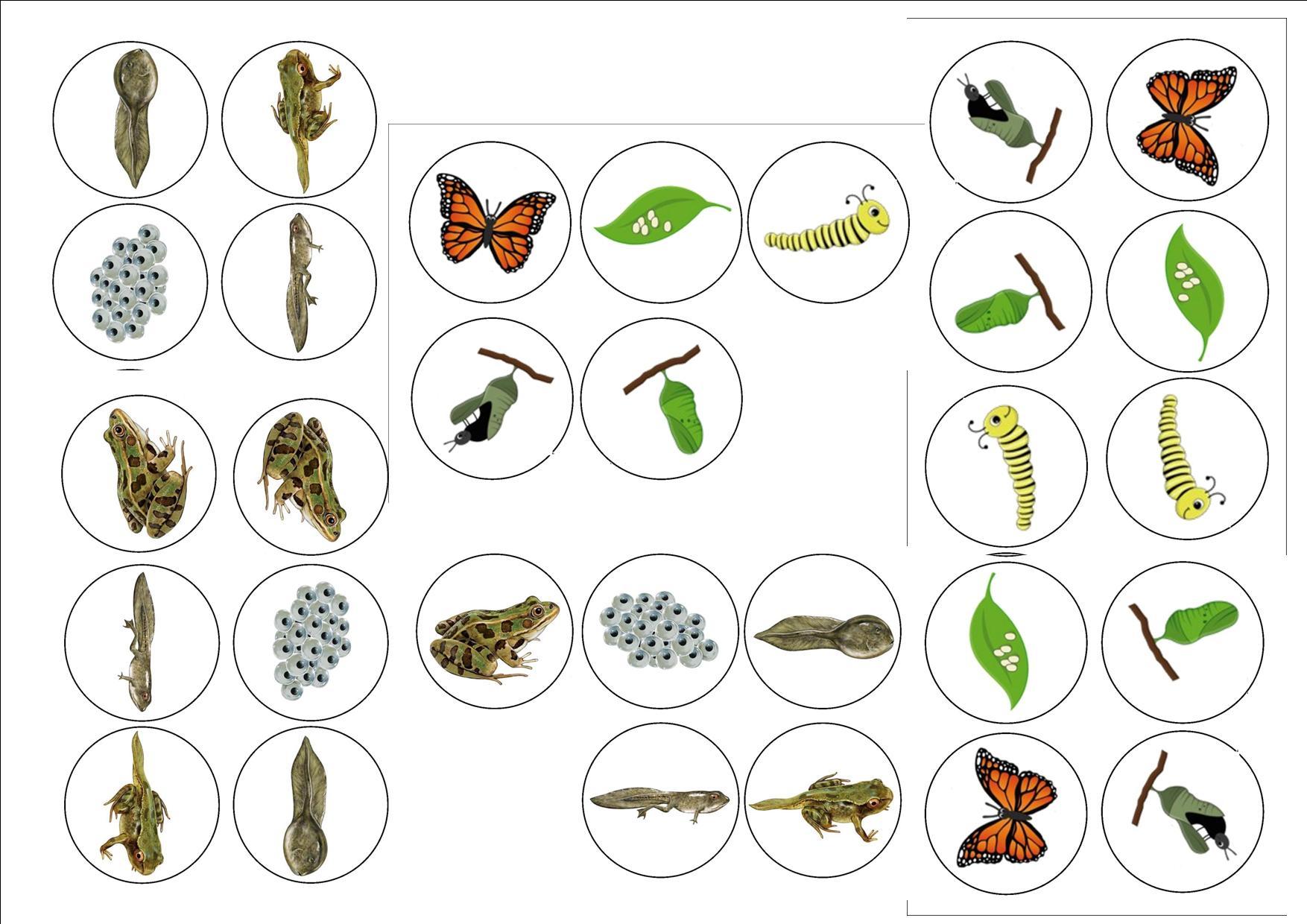 Cycles De Vie : Grenouille Et Papillon - Ecole De Nadège concernant Le Cycle De Vie De La Grenouille