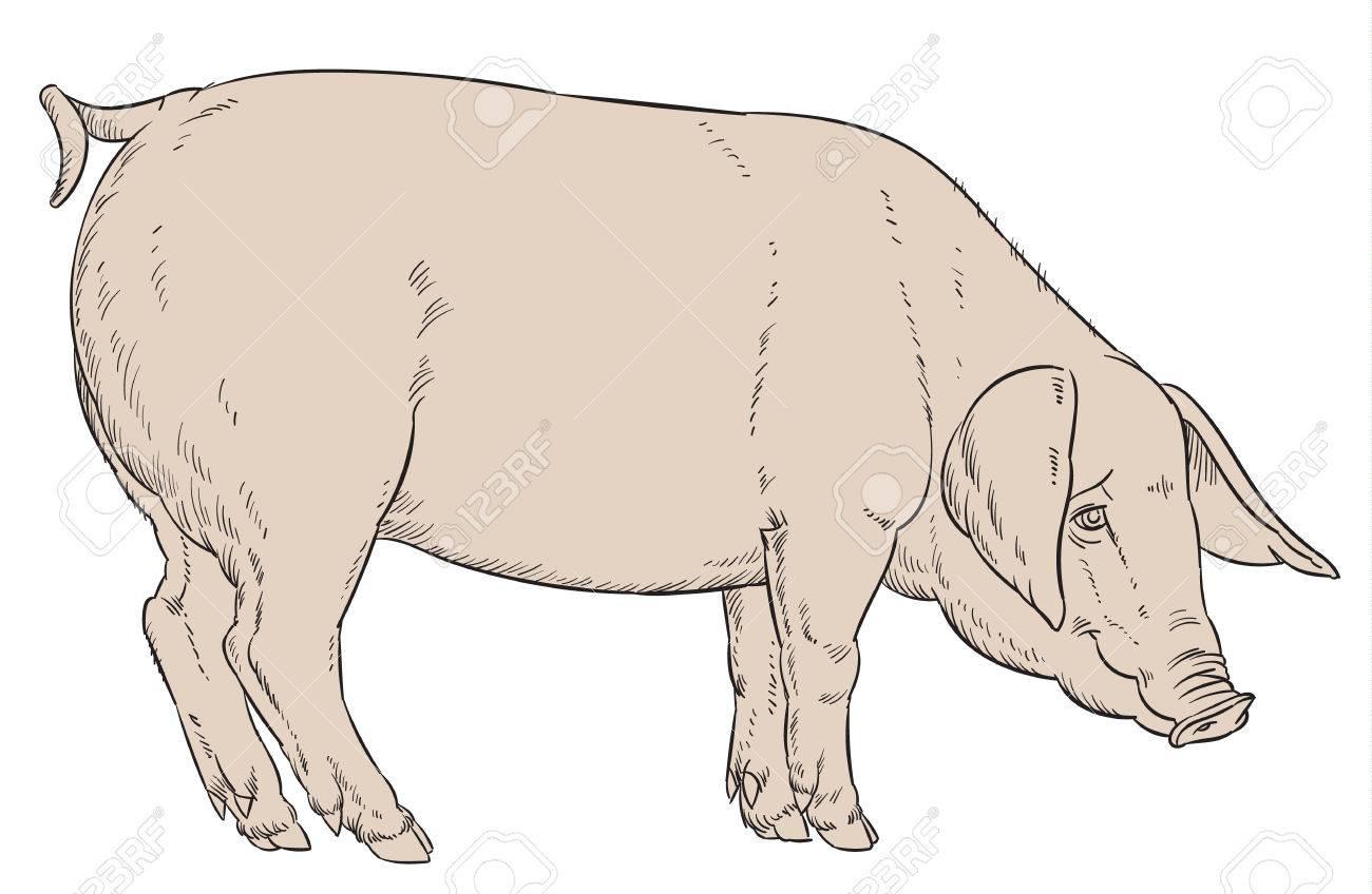 Dessin À La Main Couleur De Porc Domestique - Vecteur Illustartion dedans Dessin De Cochon En Couleur