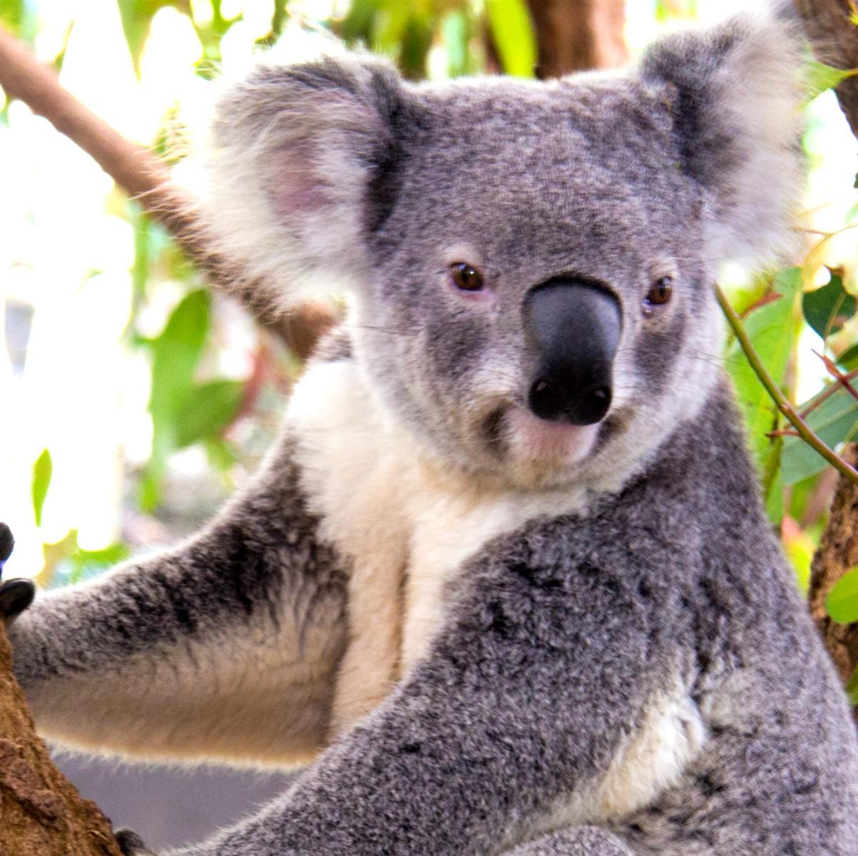Dessins En Couleurs À Imprimer : Koala, Numéro : 689827 pour Image D Animaux A Imprimer En Couleur