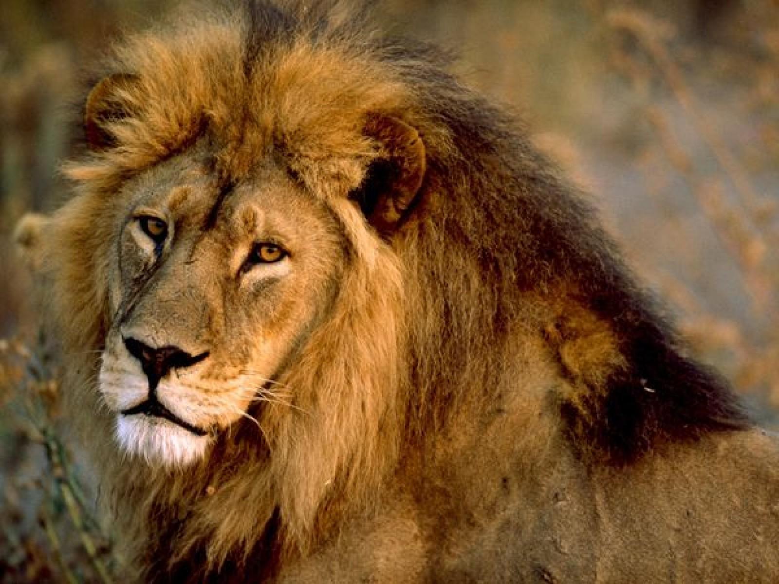 Dessins En Couleurs À Imprimer : Lion, Numéro : 684536 dedans Photo De Lion A Imprimer En Couleur