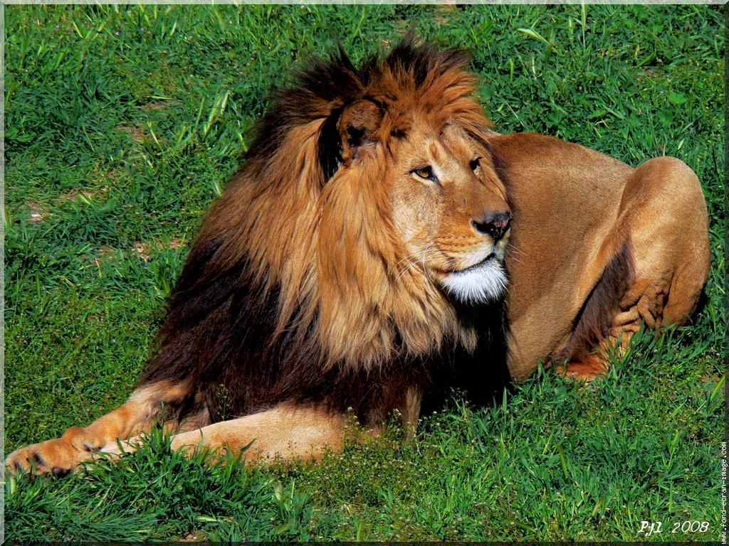 Dessins En Couleurs À Imprimer : Lion, Numéro : 692831 concernant Photo De Lion A Imprimer En Couleur