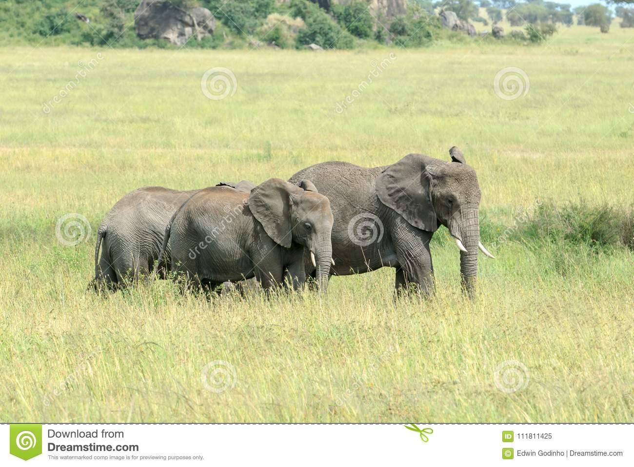 Deux Jeunes Éléphants De Bush D'africain Alimentant Dans La dedans Femelle De L Éléphant Nom