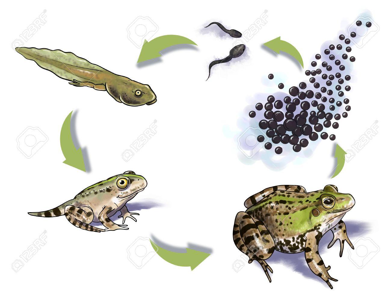 Digital Illustration Of A Frog Life Cycle destiné Le Cycle De Vie De La Grenouille