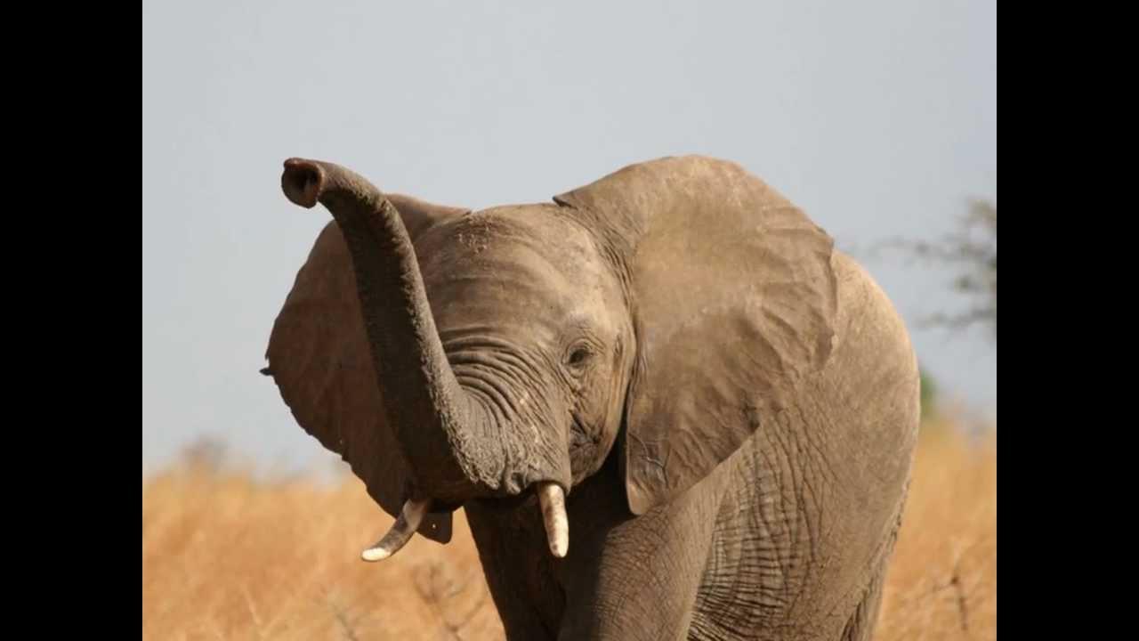 Djumbo pour Barrissement Elephant