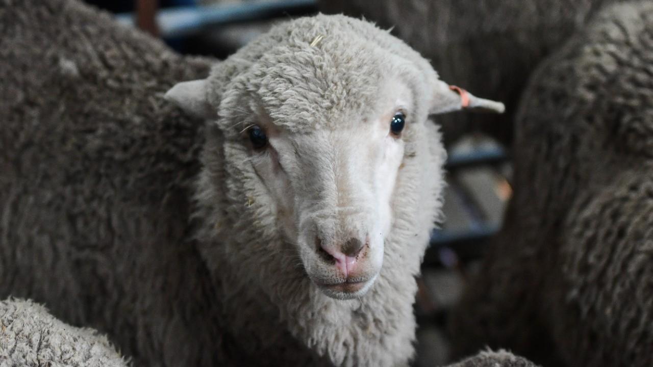 Du Sperme Congelé Il Y A 50 Ans Engendre Des Dizaines D destiné Différence Entre Brebis Et Mouton