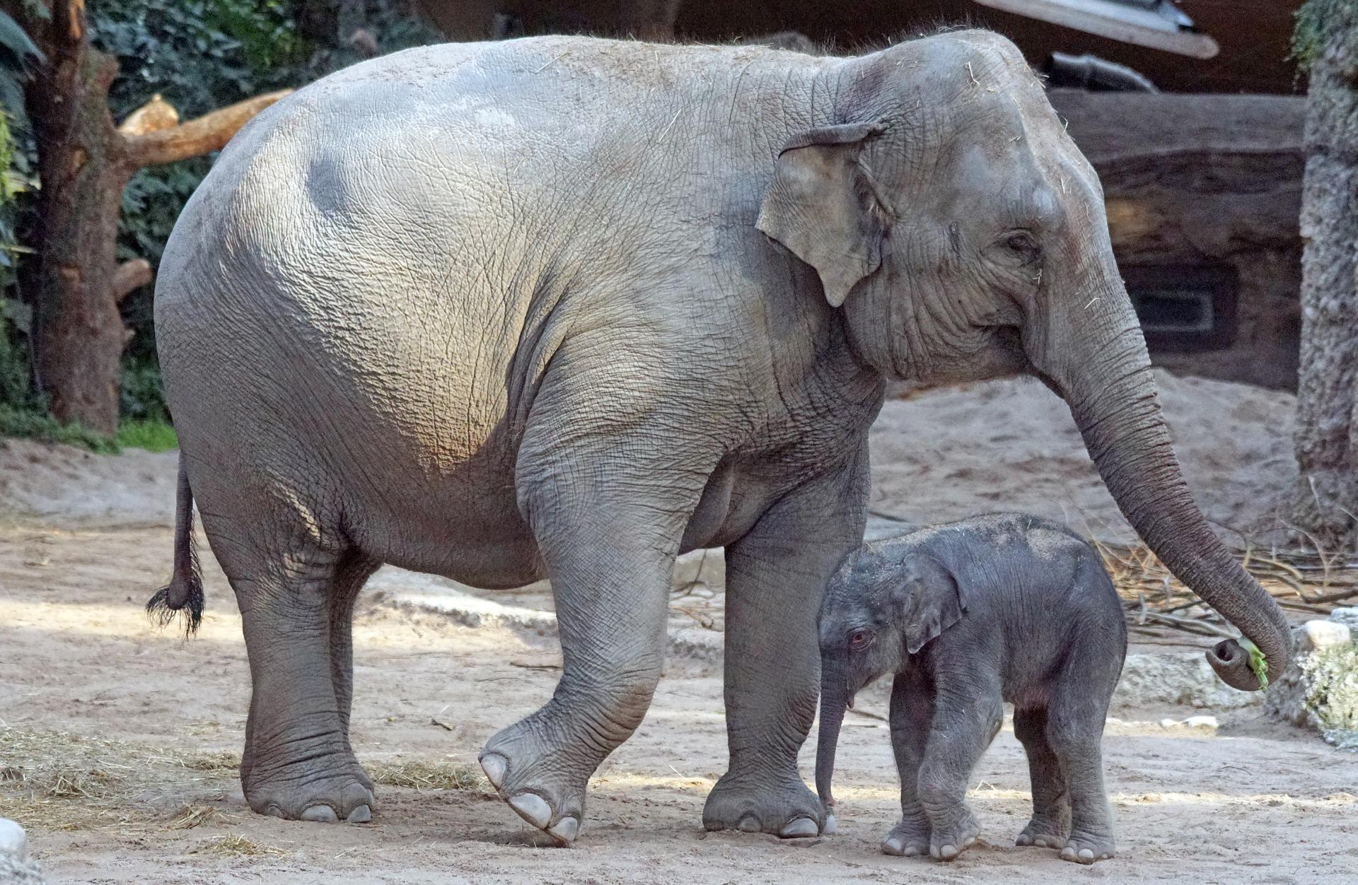 Eléphant D'asie : Fiche Descriptive Complète + Photos concernant Femelle De L Éléphant Nom