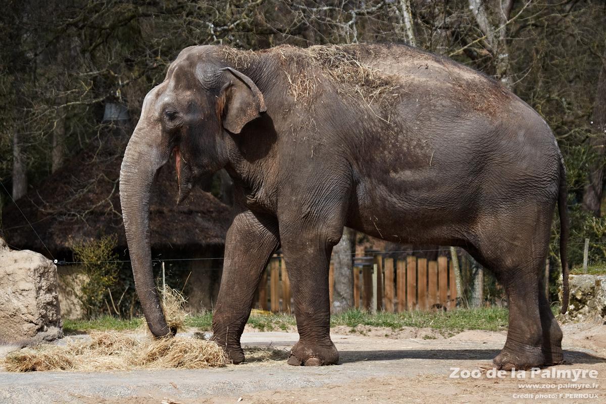 Eléphant D'asie | Zoo De La Palmyre avec Femelle De L Éléphant Nom