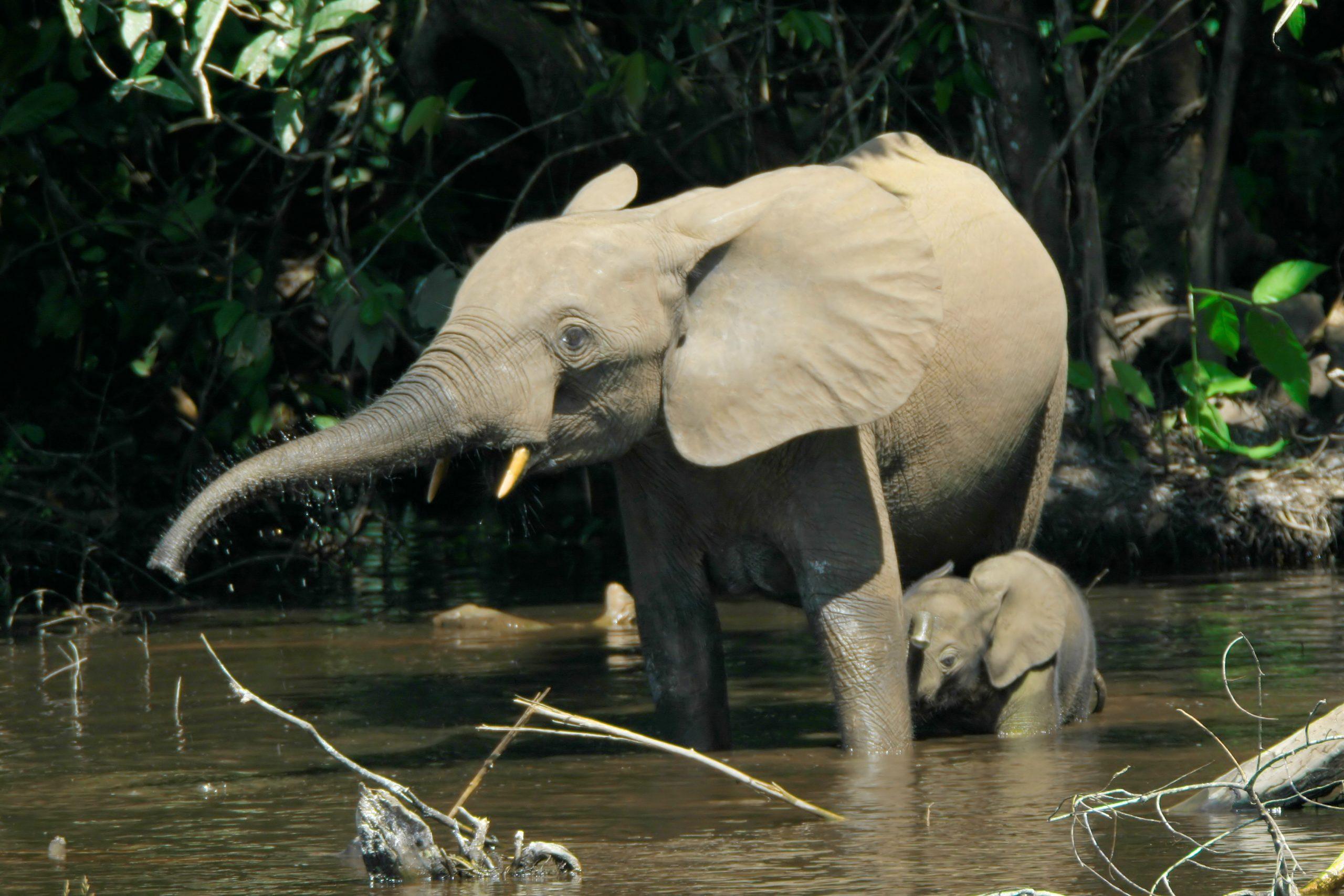 Éléphant De Forêt D'afrique — Wikipédia intérieur Femelle De L Éléphant Nom