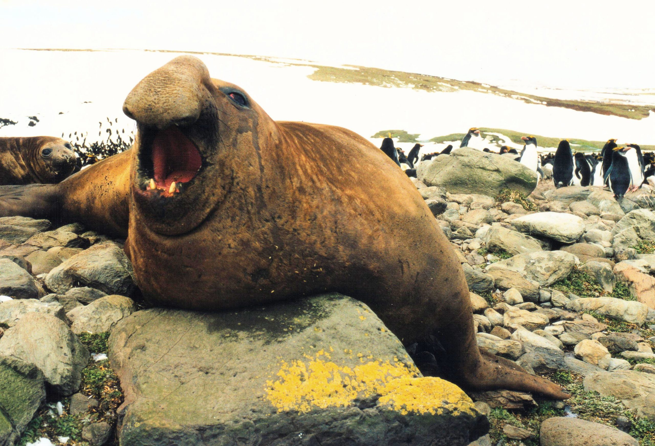 Éléphant De Mer Du Sud — Wikipédia pour Femelle De L Éléphant Nom