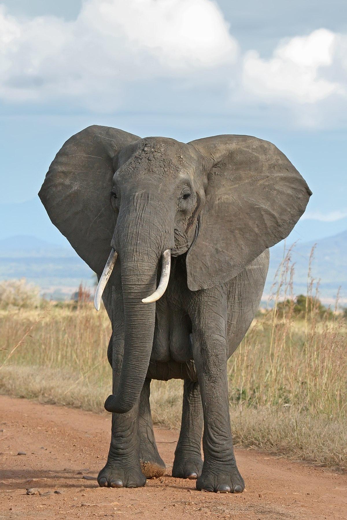 Éléphant De Savane D'afrique — Wikipédia pour Femelle De L Éléphant Nom