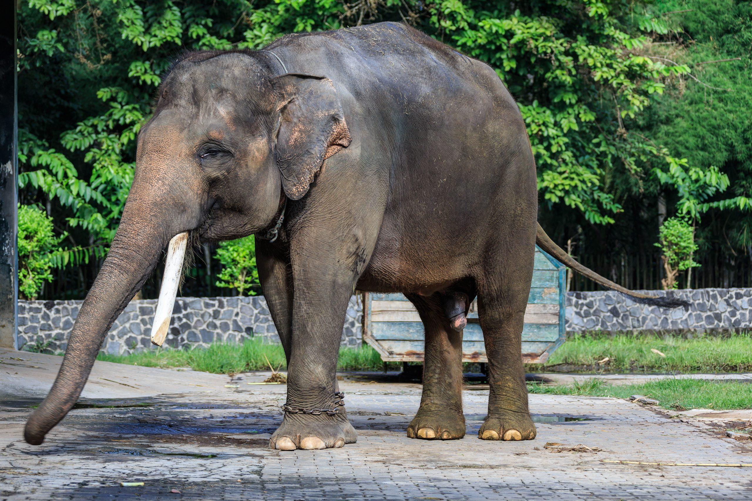 Éléphant De Sumatra — Wikipédia concernant Femelle De L Éléphant Nom