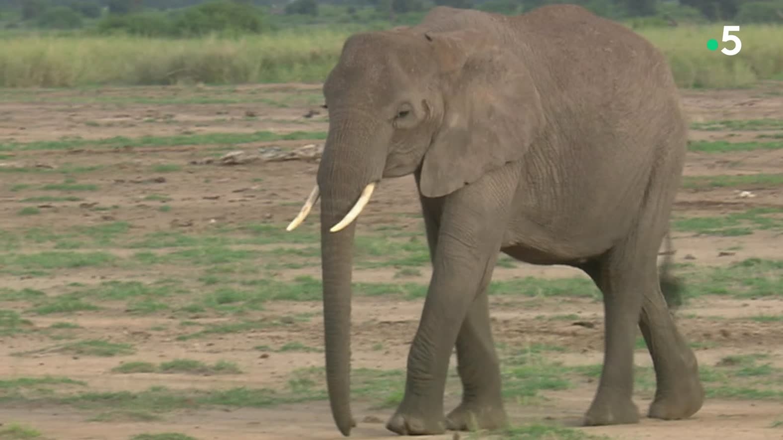 Eléphants Du Kilimandjaro - Vendredi 11 Janvier 2019 - Page tout Barrissement Elephant