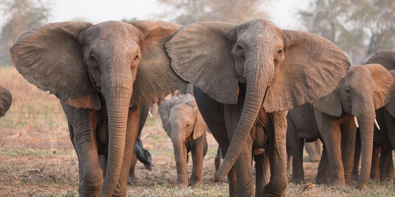 En Réaction Au Braconnage, De Plus En Plus D'éléphants intérieur Femelle De L Éléphant Nom