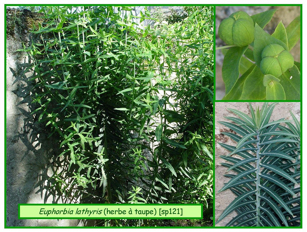 Euphorbe Herbe À Taupes - Euphorbia Lathyris - 121 - Flore tout Arbre A Taupe